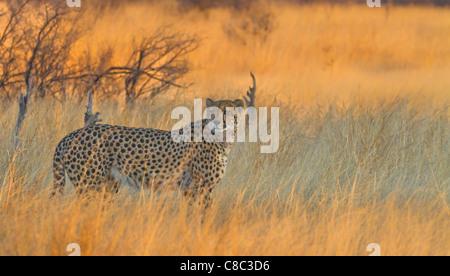 Cheetah in Hwange National Park, Zimbabwe - Stock Photo