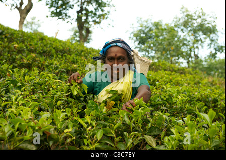 A female tea piker, Nuwera Eliya, Sri Lanka - Stock Photo