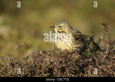 Meadow pipit (Anthus pratensis) perched on heather - Stock Photo