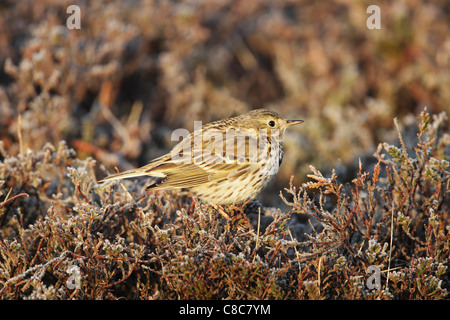 Meadow pipit (Anthus pratensis) perched on frosted heather - Stock Photo