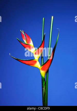 Close up of bird of paradise flower - Stock Photo