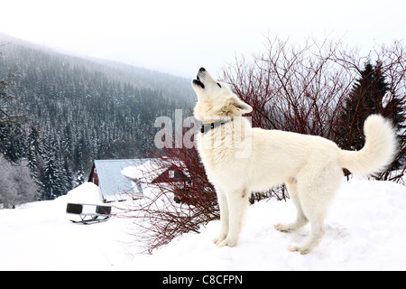 one white howling dog on mountains in winter - White German Shepherd - Stock Photo