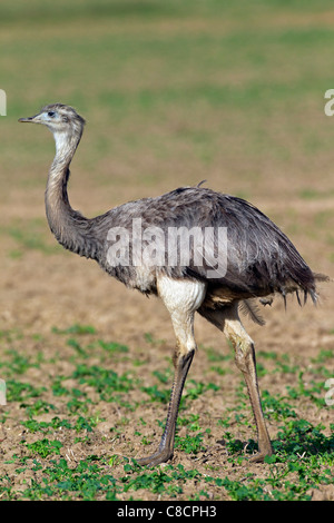 Greater Rhea (Rhea americana), female native to South America - Stock Photo