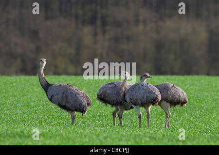 Greater Rhea (Rhea americana) flock in field. Flightless birds native to South America - Stock Photo