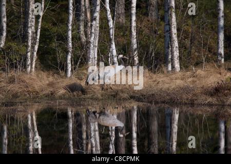 Common Crane / Eurasian Crane (Grus grus) reflection in lake, Dalarna, Sweden - Stock Photo