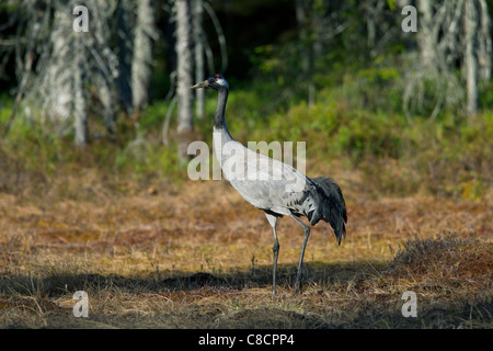 Common Crane / Eurasian Crane (Grus grus) in bog, Dalarna, Sweden - Stock Photo