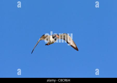 Eurasian Oystercatcher / Common Pied Oystercatcher (Haematopus ostralegus) in flight - Stock Photo
