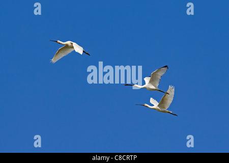 Three Eurasian Spoonbills / Common Spoonbills (Platalea leucorodia) in flight, Wadden Sea, Germany - Stock Photo