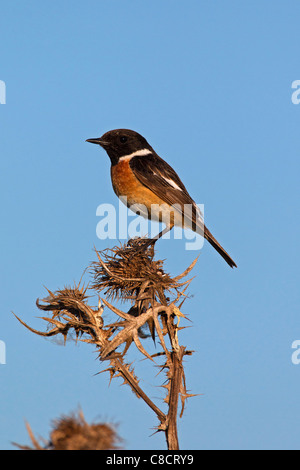 European Stonechat (Saxicola rubicola) male perched in thistle, Germany - Stock Photo