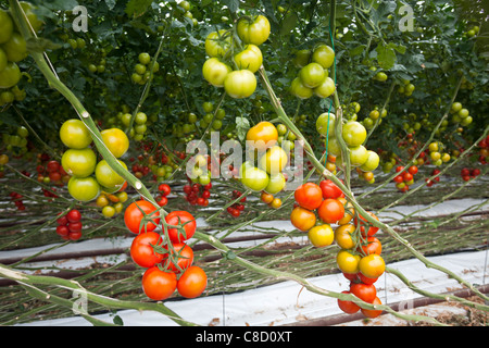 In Brittany, an intensive cultivation of tomatoes (Solanum lycopersicum) under greenhouse. A soil-less production of plants.