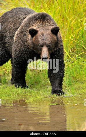 An adult grizzly bear walking forward making eye contact. - Stock Photo