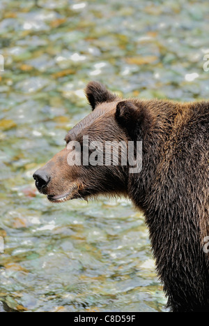 A grizzly scans the water of a clear stream for spawning salmon.