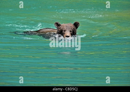 A grizzly bear cub playing swimming in a pond of water. - Stock Photo