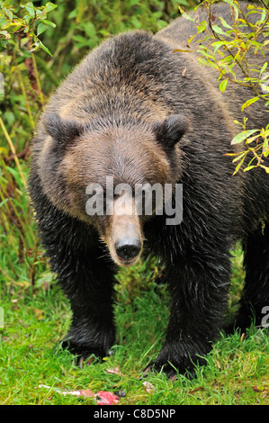 An adult grizzly bear making eye contact standing over some half eaten salmon - Stock Photo