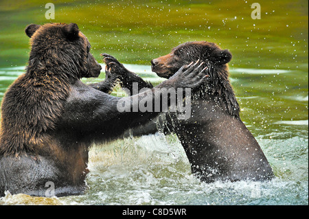 Two grizzly bears aggressively play fighting - Stock Photo