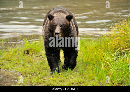 An adult grizzly bear walking along the edge of a water pond. - Stock Photo