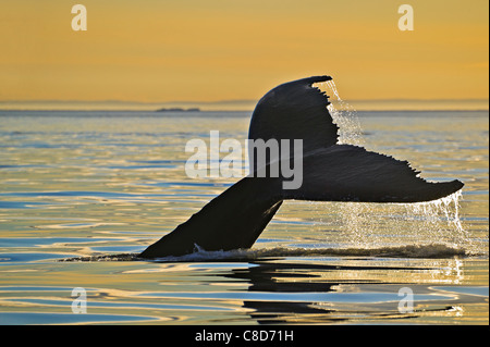 Diving Humpback Whale, Megaptera novaeangliae, shows its fluke during a golden sunset above the Strait of Belle, - Stock Photo