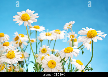 Macro shot of wild camomiles on a blue sky background. - Stock Photo