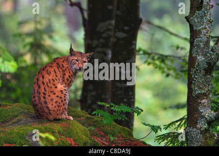 Eurasian lynx (Lynx lynx) sitting on a moss covered rock inside a beautiful forest of the Nationalpark Bayerischer - Stock Photo