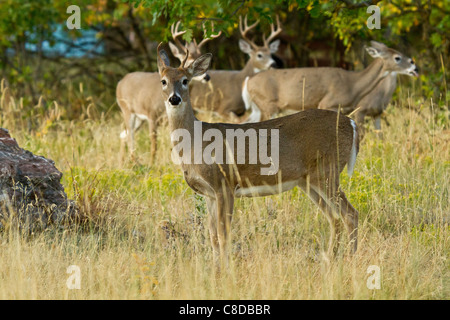 Whitetail buck and does in the woods in South Dakota - Stock Photo