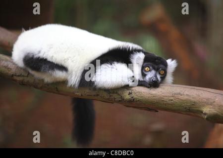 Black-and-white ruffed lemur (Varecia variegata subcincta) resting on a branch in Melaka zoo. - Stock Photo