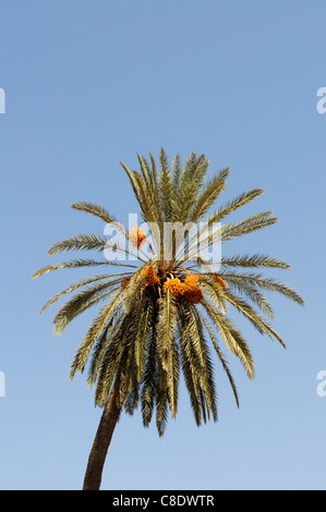 Date Palm, Phoenix dactylifera, Tiznit, Morocco - Stock Photo