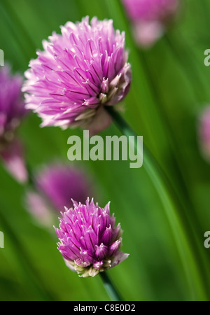 Close up of chives in bloom - Stock Photo