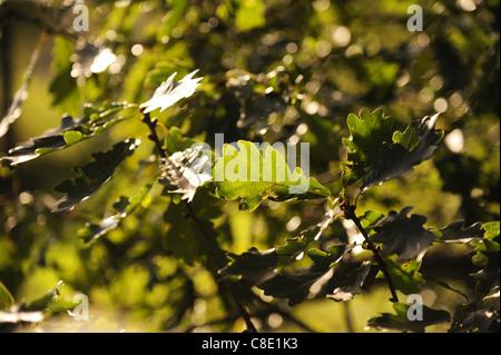 Oak leaf backlit in the sunlight - Stock Photo