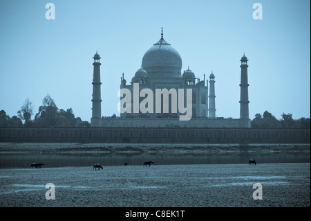 The Taj Mahal north side viewed from Agra Fort in late afternoon with buffalo grazing in foreground, India - Stock Photo