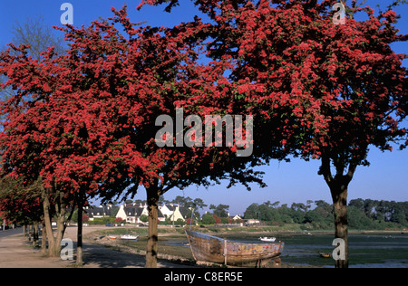 Trees, bloom, Port Louis, Brittany, Bretagne, France, Europe, red - Stock Photo