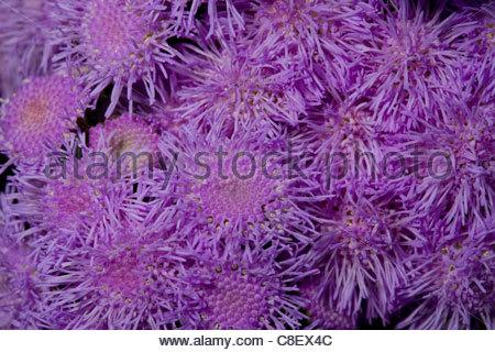 Mass of purple aster flowers. - Stock Photo
