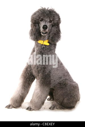 Giant poodle Single adult sitting in a studio UK - Stock Photo