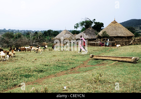 Lolgorian, Kenya. Maasai herdsman at his boma with his cattle, including cows and calves. - Stock Photo
