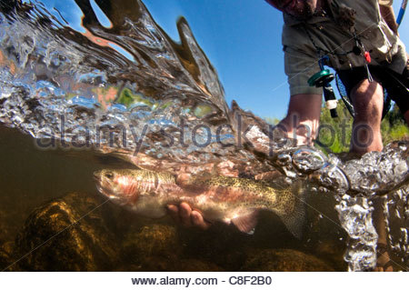 Underwater view of a man holding and leaning over a fish in the river. - Stock Photo