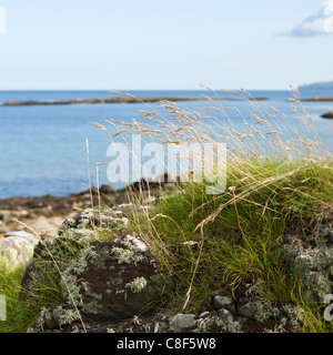 Dead grass blowing in the wind on the east coast of the Kintyre Peninsula, north of Peninver, Argyll & Bute, Scotland - Stock Photo