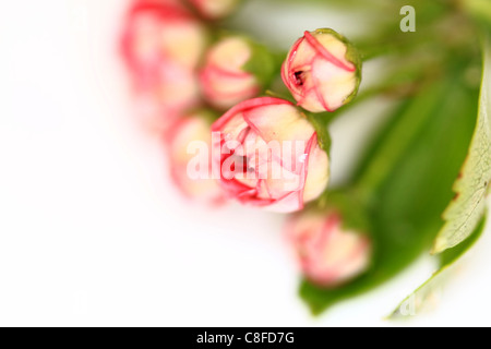 Hawthorn flowers on a white background - Stock Photo