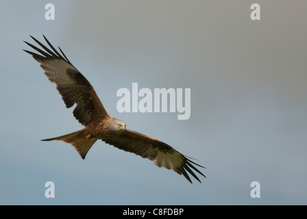 Red Kite in flight above Gigrin farm in wales