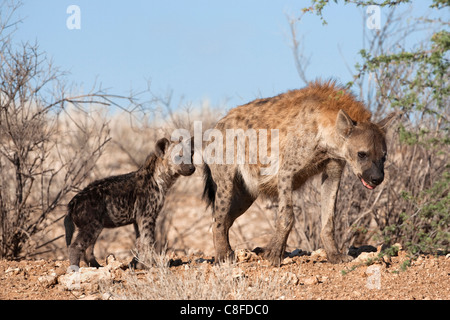 Spotted hyena with cub, South Africa - Stock Photo