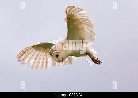 Barn owl (Tyto alba) in flight, in captivity, Cumbria, England, United Kingdom - Stock Photo