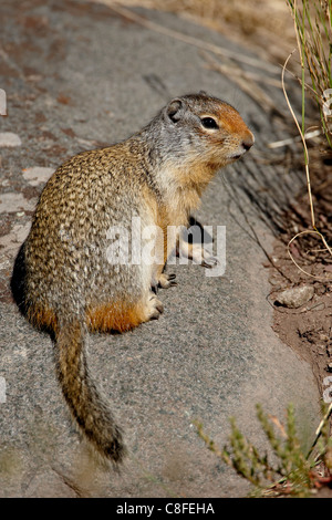 Columbian ground squirrel (Citellus columbianus, Waterton Lakes National Park, Alberta, Canada - Stock Photo