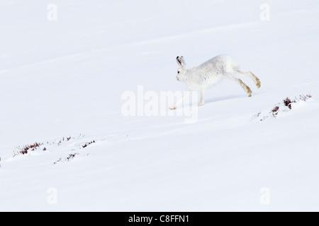 1, Alps, alpine, fauna, mountain, mountains, Cairngorms, ice, fauna, fur, cliff, escape, getaway, mountains, hare, - Stock Photo