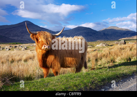 Highland cattle, Isle of Mull, Inner Hebrides, Scotland, United Kingdom - Stock Photo