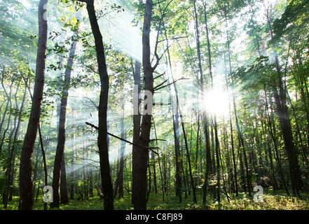 Sun's rays shining through the trees in the forest. - Stock Photo