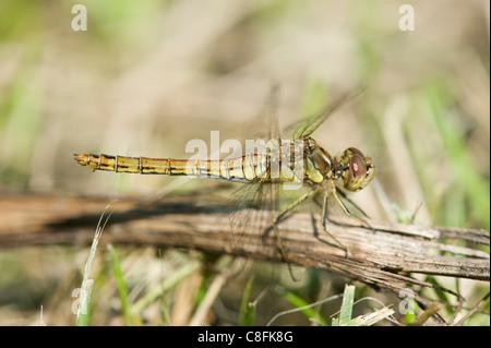 Vagrant Darter (Sympetrum vulgatum) on a twig - Stock Photo