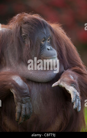 The Sumatran orangutan (Pongo abelii) - Stock Photo