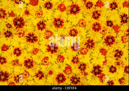 Rudbeckia laciniata, Lantana camara, Tagetes - flower heads - background - floral pattern - Stock Photo