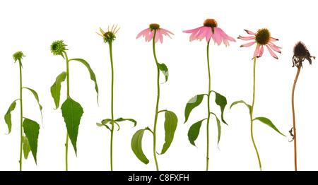 Evolution of Echinacea purpurea  flower  isolated on white background - Stock Photo