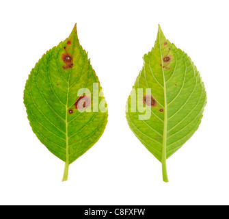 Diseased leaf of  Hydrangea serrata Blue Bird – fungus Cercospora - isolated - Stock Photo