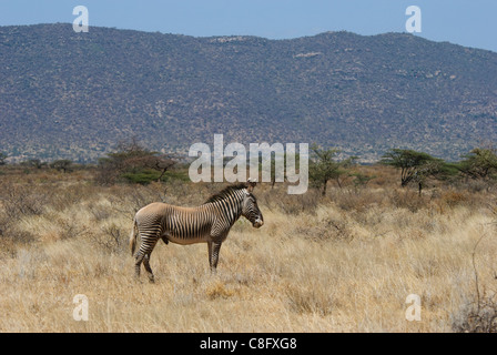 Grevy's zebra (Equus grevyi) from Samburu - Stock Photo