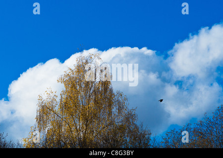A yellow birch tree and a lonely crow in flight against a huge white cloud and deep blue sky - Stock Photo